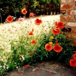Blog 45a Poppies 001