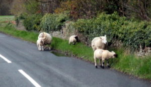 Yorkshire sheep on the road