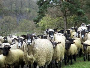 More Yorkshire sheep