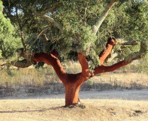Cork oak showing stripped bark
